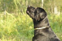 Labrador close up profile Stock Image