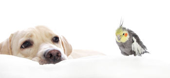Labrador with a cockatiel Royalty Free Stock Images