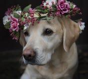 Labrador in collare della corona del fiore Immagini Stock Libere da Diritti