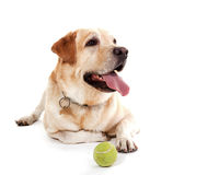 Labrador com a bola que levanta no estúdio branco Foto de Stock