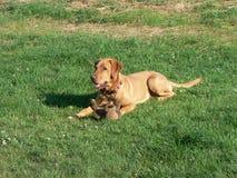 Labrador com urso do brinquedo Foto de Stock
