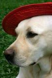 Labrador con el sombrero rojo fotos de archivo