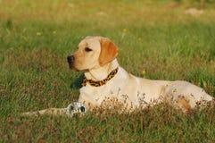 Labrador con la bola Foto de archivo libre de regalías