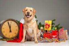 Labrador con Santa Hat La ghirlanda del nuovo anno e Fotografie Stock