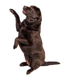 Labrador Royalty Free Stock Photo