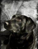 Labrador considerável imagem de stock