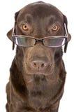 Labrador considerável e inteligente nos vidros Imagem de Stock