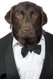 Labrador considerável esperto no smoking Fotografia de Stock