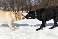 Labrador contest at winter Stock Images