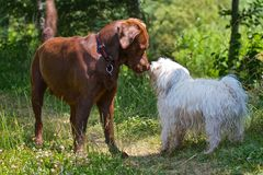 Labrador contra Havanese Fotos de archivo