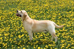 Labrador costs on a glade. Labrador costs on a lawn with c dandelions Stock Photo