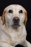Labrador, crema hermosa del espécimen del pelo del labrador retriever del retrievera y marrón caliente Fotografía de archivo