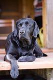 Labrador criado en línea pura negro Foto de archivo libre de regalías