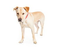 Labrador Cross Dog Standing to Side Stock Photo