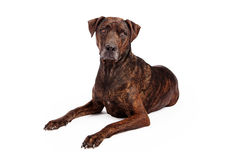 Labrador Crossbreed With Brindle Coat Royalty Free Stock Photography