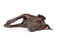 Labrador Crossbreed Dog Laying on Side Stock Photos