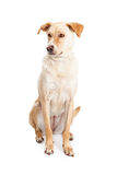 Labrador Crossbreed Dog Sitting Looking to Side Royalty Free Stock Image