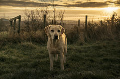 Labrador Royalty Free Stock Images