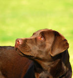 Labrador czekoladowy Retrievera Fotografia Stock