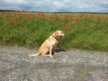 Labrador d'or à côté de Poppy Field Images libres de droits