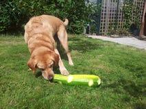 Labrador d'or mangeant la moelle /courgette Photo stock