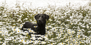 Labrador in daisies Stock Photos