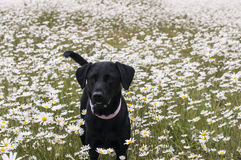 Labrador in daisies Stock Photo