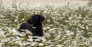 Labrador in daisies Royalty Free Stock Photo