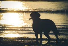 Labrador dans le coucher du soleil Photos stock