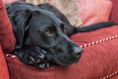 Labrador, das auf dem Sofa stillsteht Lizenzfreie Stockbilder