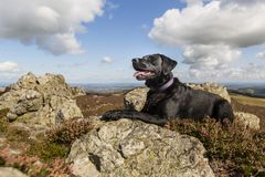 Labrador, das auf den stiperstones in Shropshire, England stillsteht Lizenzfreie Stockfotografie