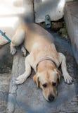 Labrador, das auf einer Leiter in einem Stahlkäfig liegt Stockfotografie