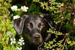 Labrador, das in einer Hecke sich versteckt lizenzfreies stockfoto