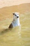 Labrador, das im Meer sitzt Stockfoto