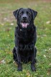 Labrador, das im Park sitzt lizenzfreie stockbilder