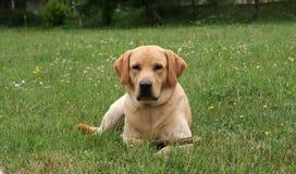 Labrador, das mit hölzernem s spielt Lizenzfreies Stockfoto