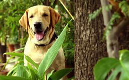 Labrador, das neben einem Baum sitzt Stockfotografie