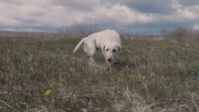 Labrador, das weg nach Sprung in Wasser rüttelt stock video footage
