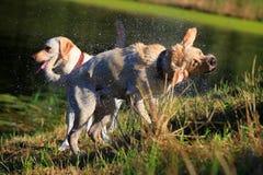 Labrador, das weg rüttelt Stockbilder