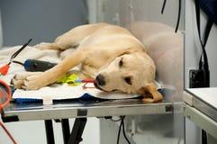 Labrador dat onder anesthesie gaat Royalty-vrije Stock Afbeelding