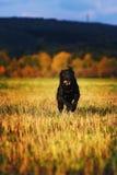 Labrador de funcionamento Fotografia de Stock