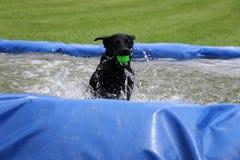 Labrador in de pool Royalty-vrije Stock Fotografie