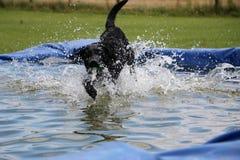 Labrador in de pool Royalty-vrije Stock Afbeelding