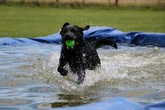 Labrador in de pool Royalty-vrije Stock Foto's