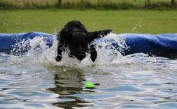 Labrador in de pool Stock Foto's