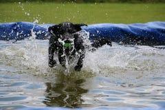 Labrador in de pool Stock Fotografie