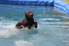 Labrador in de pool Royalty-vrije Stock Foto