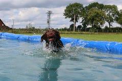 Labrador in de pool Stock Afbeeldingen