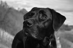 Labrador in de sneeuw stock afbeeldingen
