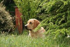 Labrador in de weide Stock Afbeeldingen